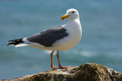 海滩海鸥 库存图片