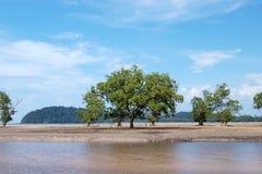 海滩热带美洲红树的结构树 库存图片
