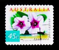 海滩牵牛花-番薯属观点扫描器caprae,澳大利亚的本质-沿海Flowersserie,大约1999年 免版税库存图片