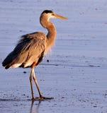 海滩特写镜头苍鹭 免版税库存照片