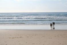 海滩狗运行 免版税库存照片