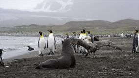 海滩的企鹅国王 影视素材