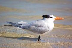 海滩皇家燕鸥冬天 免版税库存照片