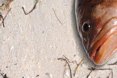 海滩石斑鱼 库存图片