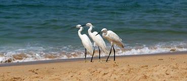 海滩苍鹭临近含沙的海洋 库存图片