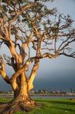 海滩长的结构树 图库摄影