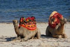 海滩骆驼 库存照片