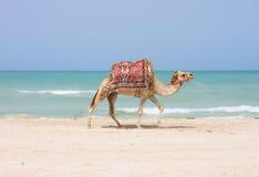 海滩骆驼 免版税库存照片
