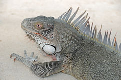 海滩鬣鳞蜥 库存照片