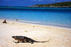 海滩鬣鳞蜥 免版税库存照片