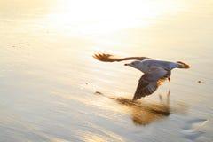 海滩鸟飞行 图库摄影