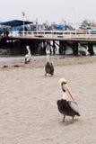 海滩鹈鹕 免版税图库摄影