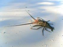 海滩龙虾 免版税图库摄影