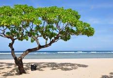 海滩dua努沙结构树 库存图片