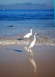 海滩itaipu海鸥 图库摄影