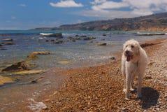 海滩labradoodle 免版税图库摄影