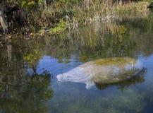 海牛和鳄鱼制定- Wakulla春天 库存照片