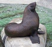 海狗4 免版税库存图片