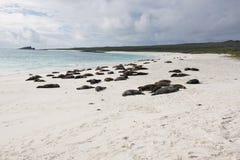 海狮休眠 免版税库存图片