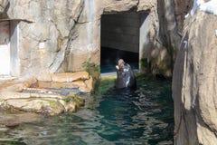 海狮叫喊在岩石在动物园里 免版税库存图片