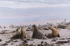 海狮和海鸥 库存照片