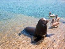 海狮和3鹈鹕在小游艇船坞小船在Cabo圣卢卡斯墨西哥发射 免版税库存图片