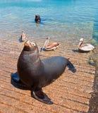 海狮和3鹈鹕在小游艇船坞小船在Cabo圣卢卡斯墨西哥发射 库存照片