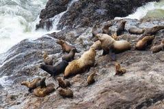 海狮在俄勒冈 免版税库存照片