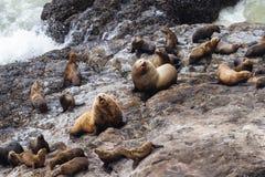 海狮在俄勒冈 免版税图库摄影