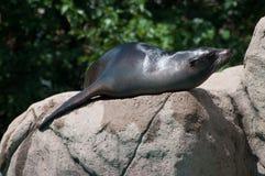海狮在动物园里 库存照片