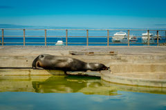 海狮在圣克里斯托瓦尔加拉帕戈斯群岛 免版税库存照片