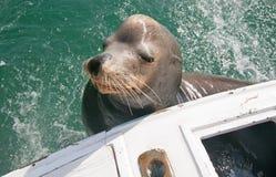 海狮在宪章渔船背面乞求为诱饵鱼在Cabo圣卢卡斯巴哈墨西哥 库存图片
