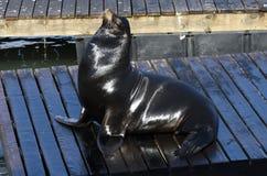 海狮在旧金山 免版税库存图片