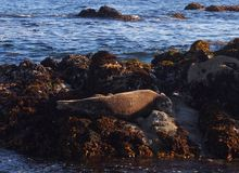 海狮在蒙特里 库存照片