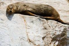 海狮在蓬塔de Choros,智利 免版税库存图片