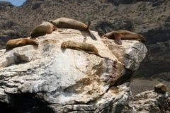 海狮在蓬塔de Choros,智利 库存图片