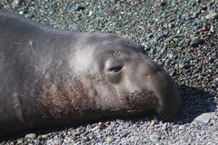 海狮在Cambria加利福尼亚 免版税库存照片
