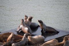 海狮坐一个木调色板 免版税图库摄影