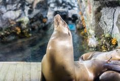 海狮培养头 库存图片