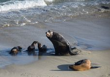 海狮大小差距  图库摄影