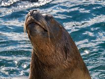 海狮头  免版税库存图片