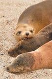 海狮家庭, Loberia海滩,加拉帕戈斯群岛,厄瓜多尔 库存图片