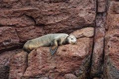 海狮密封放松 免版税图库摄影