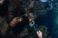 海狮封印水下的尖酸的照相机 库存照片
