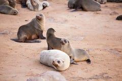 海狮封印,与小狗的Otariinae 库存图片