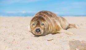 海狮幼崽关闭 免版税库存照片