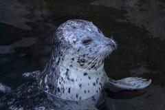 海狮幼崽 库存图片