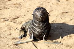 海狮幼崽海角十字架纳米比亚非洲 免版税库存照片