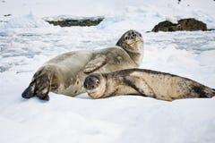 海狮幼崽 库存照片