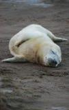 海狮幼崽 免版税库存照片